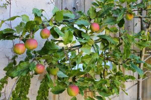 Good News: Retiree Groups Discover Apple Species Once Believed to be Extinct