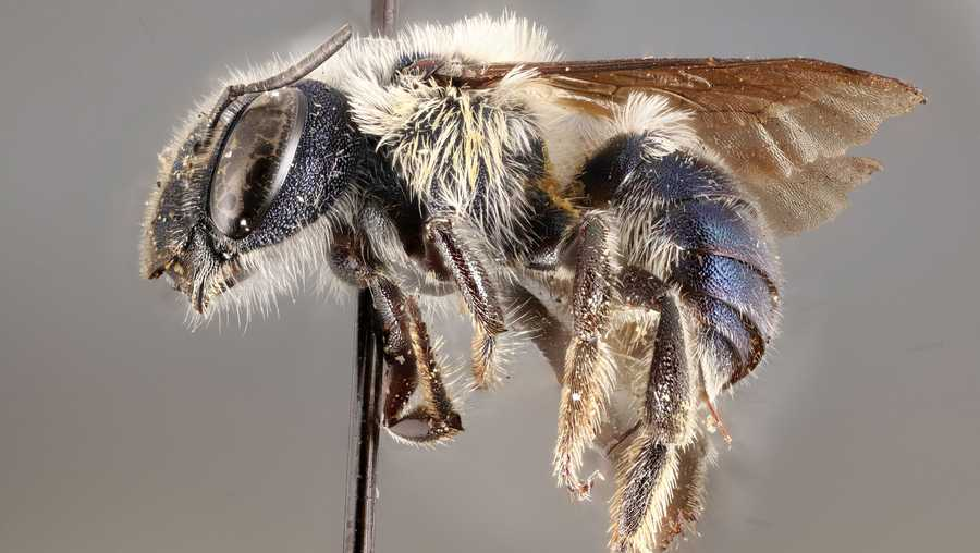 Conservationist re-discover Ultra Rare Blue Bees After Missing for Years