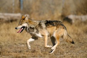 Good Retired Farmer Brings Mexican Wolf Back From Extinction in the US