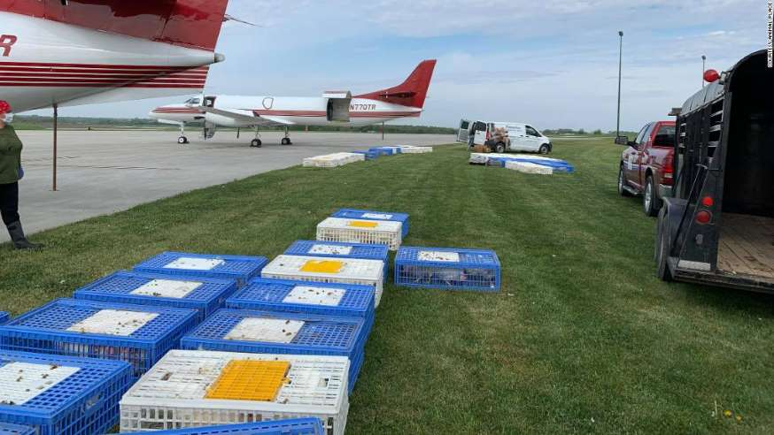 A California Animal Sanctuary Sent Two Planes To Iowa To Rescue 1,000 Chickens