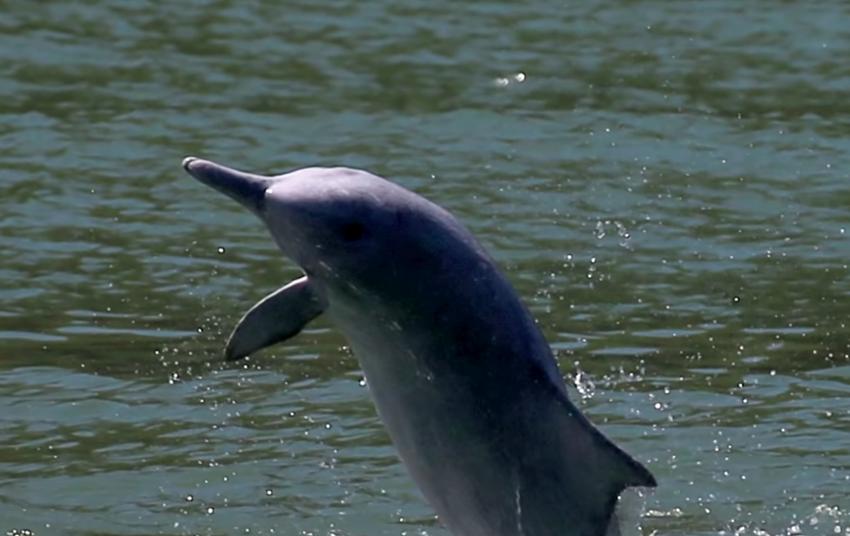 Rare Pink Dolphins Returning To Hong Kong As Coronavirus Halts Ferry Traffic