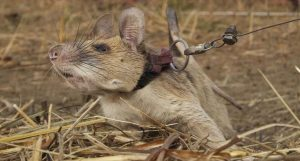 Read more about the article Meet The 'Hero' Mine-Sniffing Rodent Who's Saved Countless Lives
