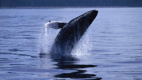 Humpback Whales Have Made A Comeback In New York City